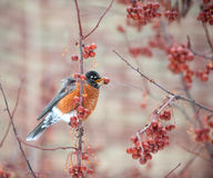 American robin feeding in berry tree Stock Photo