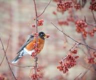 American robin feeding in berry tree Stock Photo