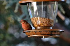 American Robin Feeding from Bird Feeder Stock Photo