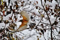 American robin in flight. American robin with wings spread wide flying from berry to berry Stock Images