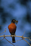 American Robin With Food. An american robin on a branch with a mouthful of food Stock Images