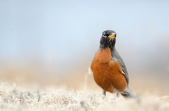 American Robin Stock Photography