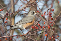 American Robin. This American Robin is gorging itself on these berries Royalty Free Stock Image