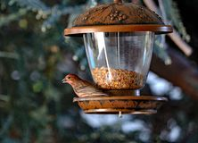 Robin and the Birdfeeder. An American Robin with a grain in the beak Stock Photos