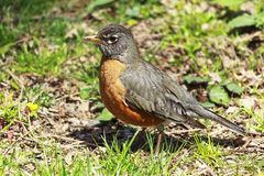 An American Robin. On the grass in Central Park during Spring Royalty Free Stock Photos