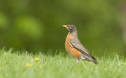American robin in grass Royalty Free Stock Photography