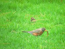 American Robin on Green Grass Field Royalty Free Stock Photo