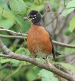 American Robin. This American Robin has caught a worm Royalty Free Stock Image