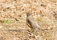American Robin hiding in plain sight, sitting motionless Stock Image