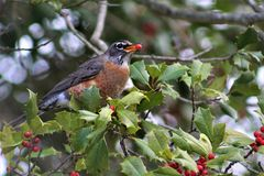 American robin with holly berry in beak. Robin perched in Holly tree with holly berry in beak Stock Photos