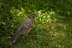 American Robin Juvenile-Back View Royalty Free Stock Images