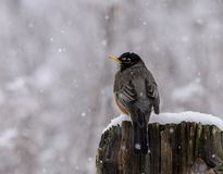 American Robin in a late spring with falling snow