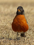 American Robin Looking into the Camera Royalty Free Stock Images