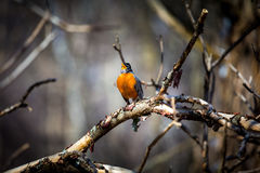 American Robin. Stock Photography