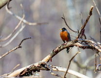 American Robin. Royalty Free Stock Photo