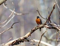 American Robin. Royalty Free Stock Photo