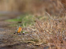American Robin. Stock Photos