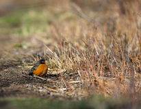 American Robin. The American robin is a migratory songbird of the thrush family. It is named after the European robin because of its reddish-orange breast Stock Photo