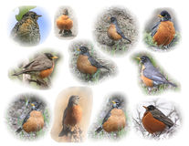 American Robin montage Stock Image