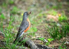 American robin with a mouthful of bugs Stock Photo