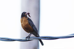 American Robin with a mouthful of worms. Stock Images
