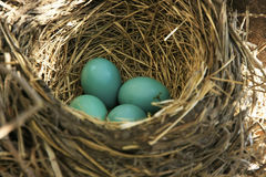 American Robin nest with eggs Royalty Free Stock Photography