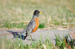 American Robin at the park Stock Image