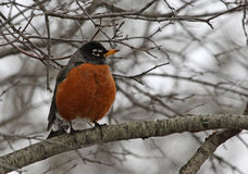 American Robin Perched Royalty Free Stock Photo