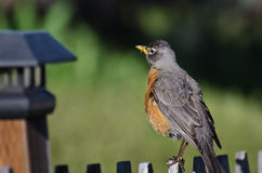 American Robin Perched on a Backyard Fence. American Robin Perched on a Fence Royalty Free Stock Photos