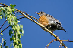 American Robin Perched on a Branch Royalty Free Stock Image