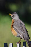 American Robin Perched on a Fence. American Robin Perched on a Backyard Fence Stock Photography