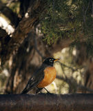 American robin perched on fence among trees. Black and orange american robin perched on metal fence among juniper trees Stock Image