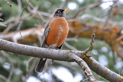 American Robin perched quietly in a tree. Stock Photography