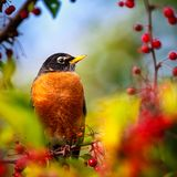 American Robin perched in a tree Royalty Free Stock Image