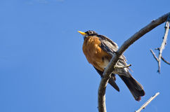 American Robin Perched in a Tree Stock Photo