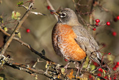 American robin perched in a tree with red berries, British Columbia, Canada. American robin perched in a Crabapple tree with red berries, British Columbia Stock Photography