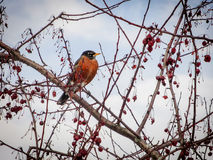 American Robin perches on a tree branch Stock Images