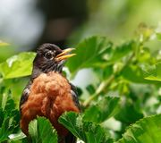 American Robin portrait Royalty Free Stock Images