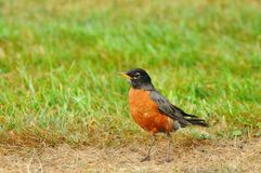 American robin on the prowl Royalty Free Stock Photos