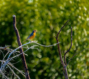 American Robin Redbreast Stock Photos