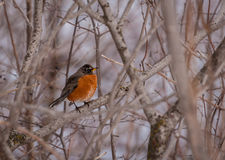 American robin resting on a branch in winter. Royalty Free Stock Image