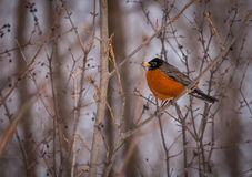 American robin resting on a branch in winter. Royalty Free Stock Photography