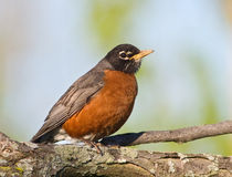 American Robin resting on a large branch. American Robin (Turdus migratorius) sitting on a tree, looking with curiosity at the camera ready to fly away Royalty Free Stock Photo