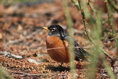 American Robin in Rose Garden. At Brookside Gardens in Silver Spring, Maryland, USA at early spring Royalty Free Stock Images