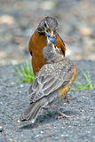 American Robin's Royalty Free Stock Photo