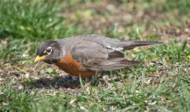 American Robin Searching For Food.  royalty free stock image