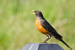 American Robin Singing While Perched Stock Image