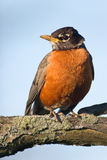 American Robin sitting on a branch. American Robin (Turdus migratorius) sitting on a tree, looking with curiosity at the camera Stock Image