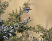 American robin sitting in juniper bush with blue berries on stem Royalty Free Stock Photography