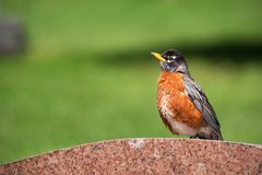 An American Robin sitting on a tombstone royalty free stock photos